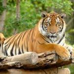 Hasta un tigre tiene el coronavirus en NY