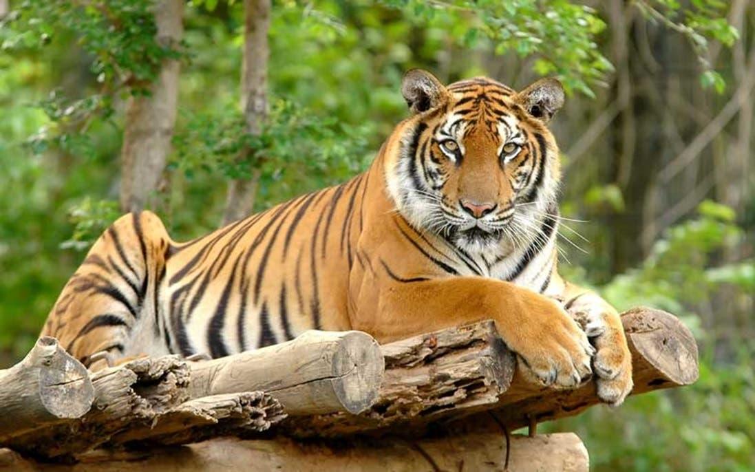 Día Internacional del Tigre: algunas curiosidades de este felino