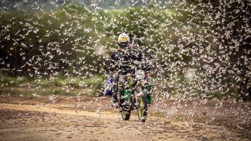 Plaga de langostas arrasa cultivos y provoca crisis alimentaria en África