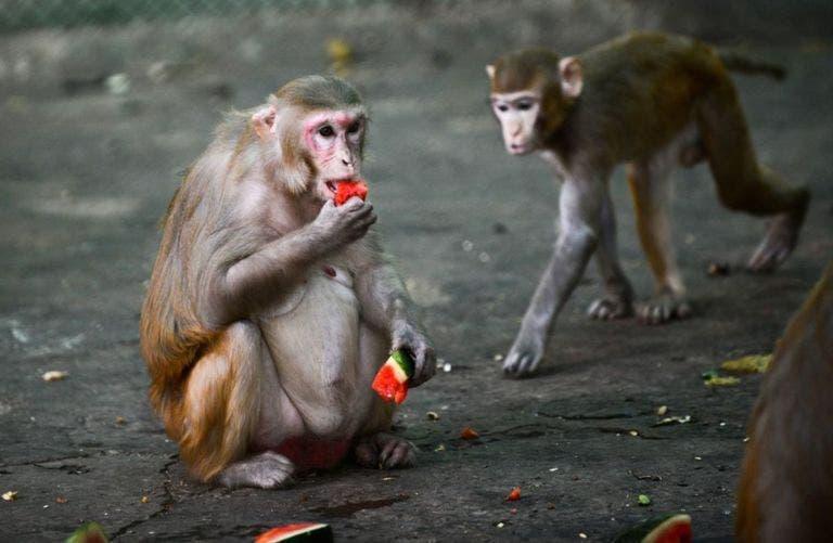 """Esta especie es """"casi lo más parecido que tenemos a los humanos"""", dijo el Instituto Jenner. Por eso el Macaco rhesus es clave para encontrar la vacuna del coronavirus."""