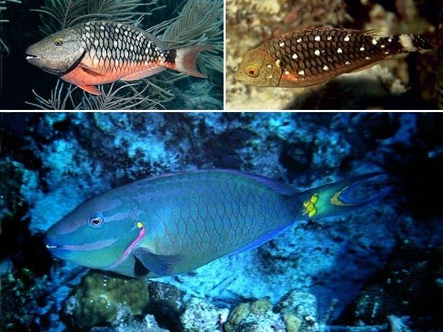 Medio Ambiente prohíbe captura y comercialización del pez loro