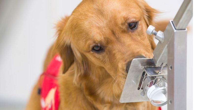 Perros pueden detectar coronavirus cinco días antes de que empiece