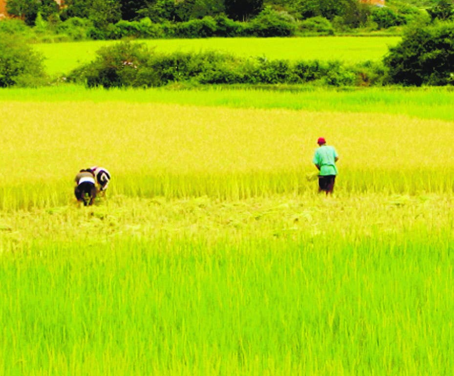 Gobierno apoyará producción nacional de arroz