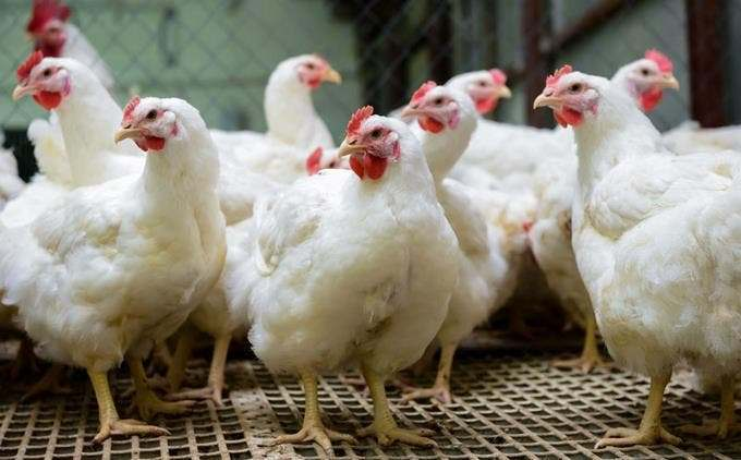 Hombre a prisión por robo de decenas de pollos