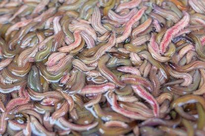 Es seguro comer gusanos, según agencia europea ¿Se anima?