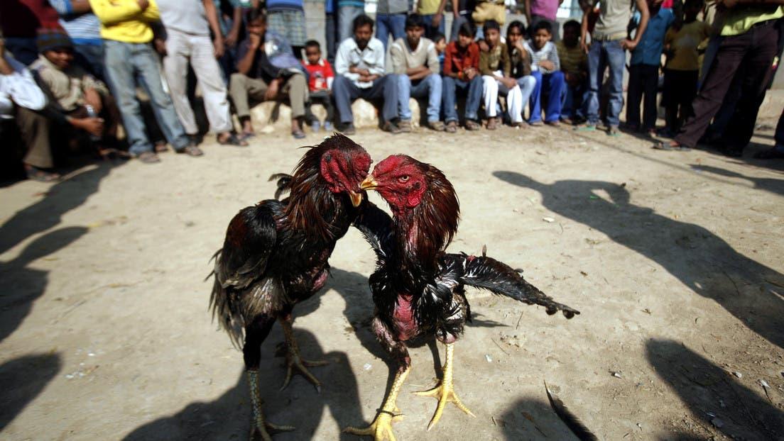 En la India, gallo mata a su dueño con una cuchilla durante pelea ilegal