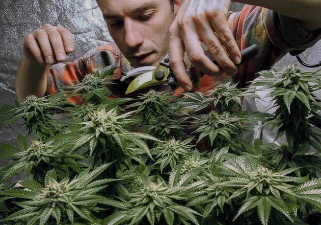 Acuerdan legalizar marihuana en Nueva York
