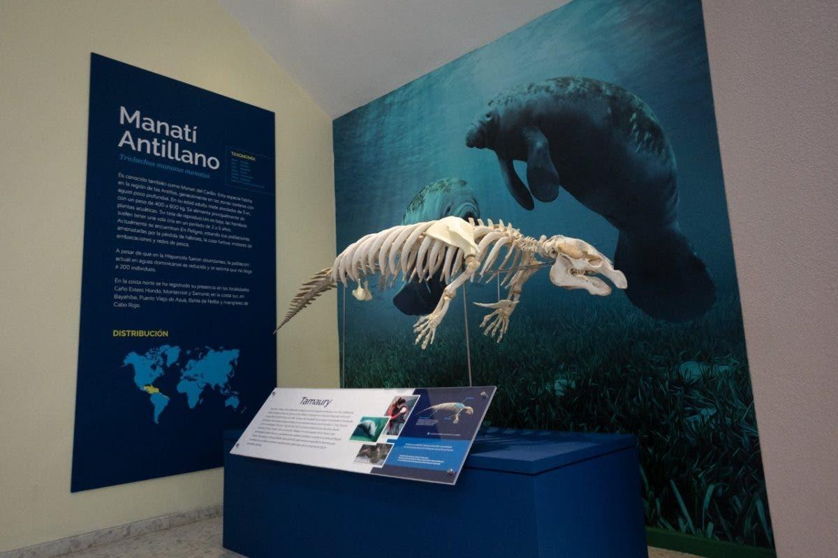 Museo de Historia Natural estrena exhibición del esqueleto del manatí Tamaury