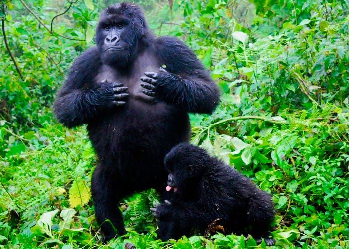Descubren que los gorilas se golpean el pecho para indicar su tamaño