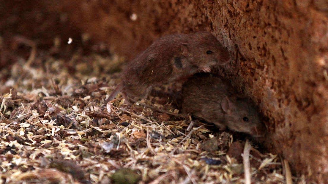 Una plaga de ratones lleva al límite a los agricultores australianos