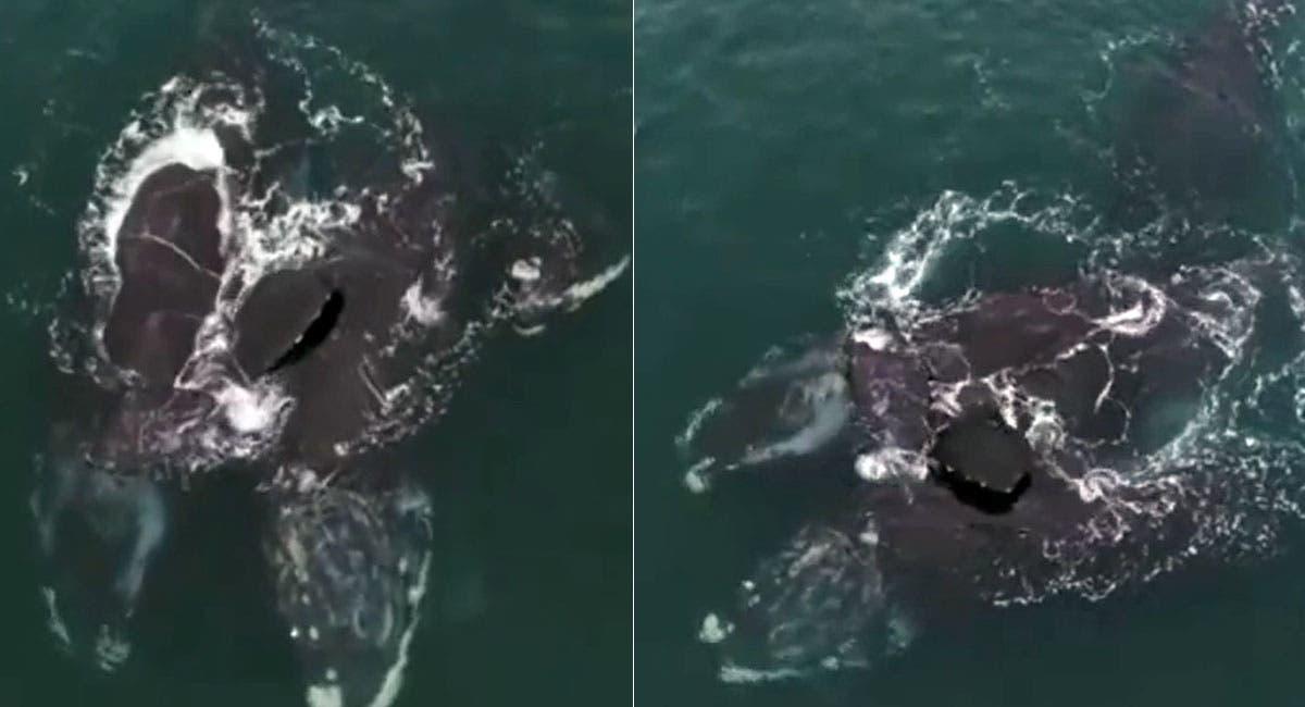 Video aéreo muestra a ballenas francas en aparente abrazo