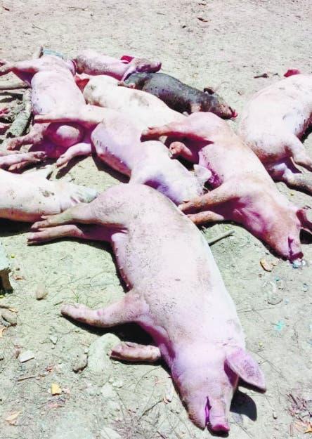 Agricultura informa muertes  de cerdos fue por neumonía