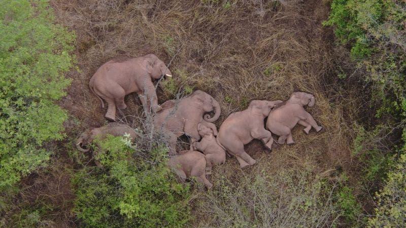 Viral y tierno: La curiosa foto de una manada de elefantes que se tomó un descanso
