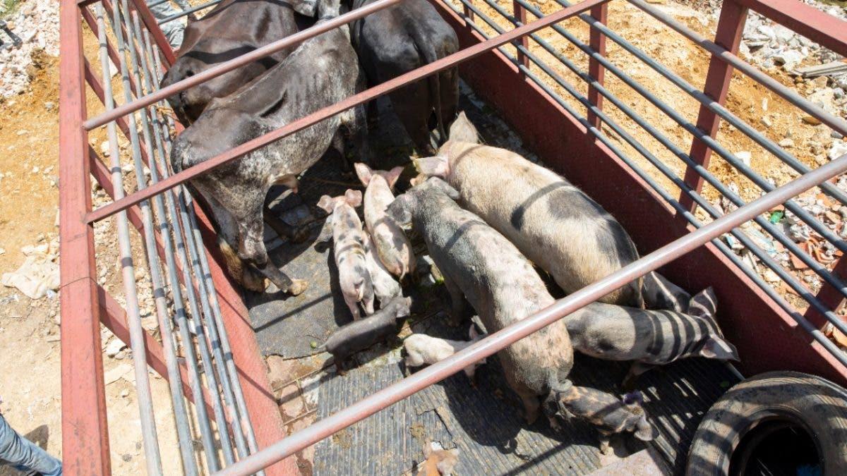 Docena de vacas y cerdos estaban como «chivos sin ley» en La Puya de Arroyo Hondo