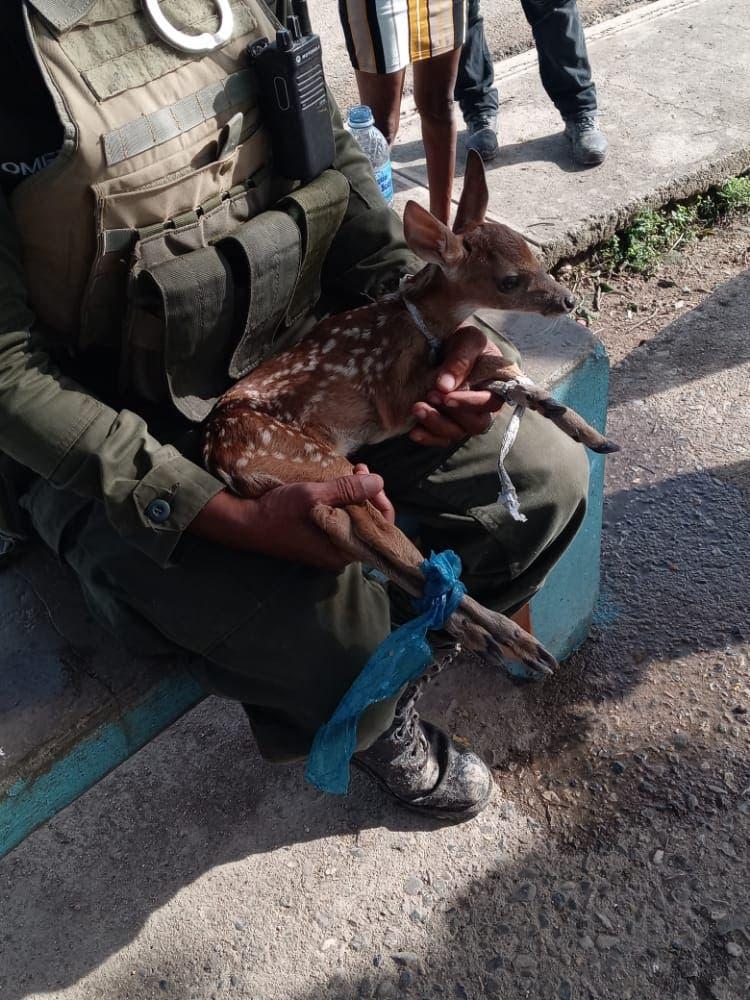 Autoridades recuperan venado bebé en el municipio de Quisqueya