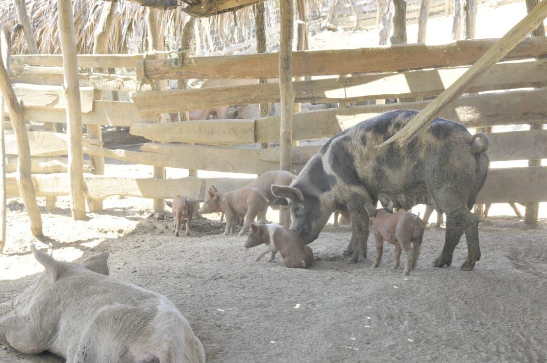 Agricultura explica razones de muertes de decenas de cerdos