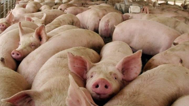 Puerto Rico busca blindarse ante el brote de peste porcina en República Dominicana