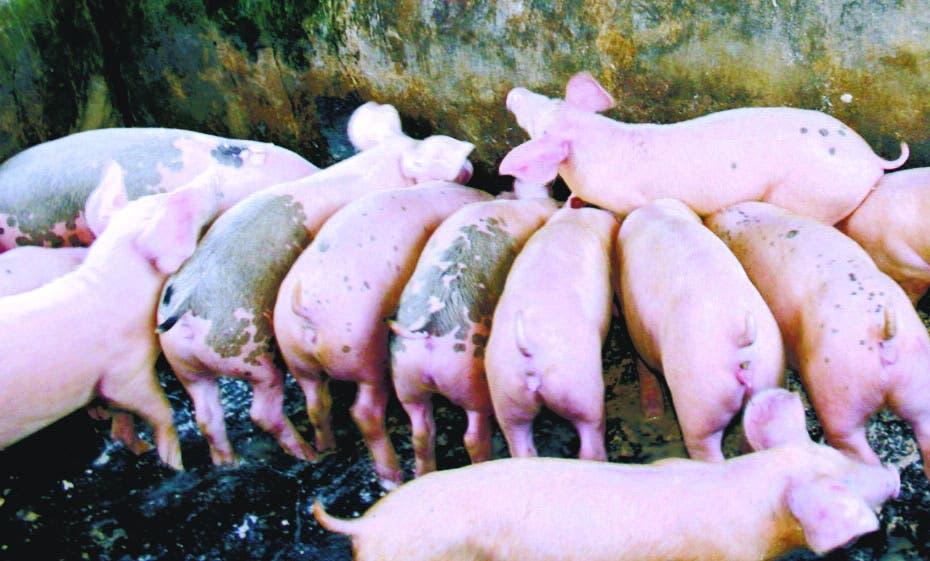 Alertan brote peste porcina detectada en RD