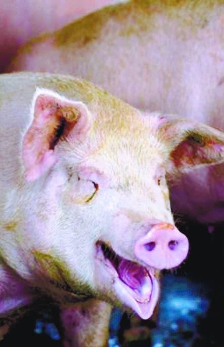 Gobierno confirma  hay   fiebre porcina en dos provincias