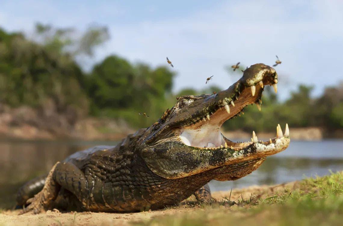 Hallan en Florida cadáver de mujer que pudo ser atacada por un caimán Miami