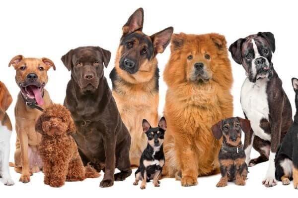 ¿Cuáles razas de perros pueden convivir en el hogar? veterinario responde