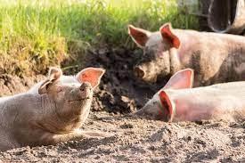 Desmiente virus afecte cerdos en Elías Piña