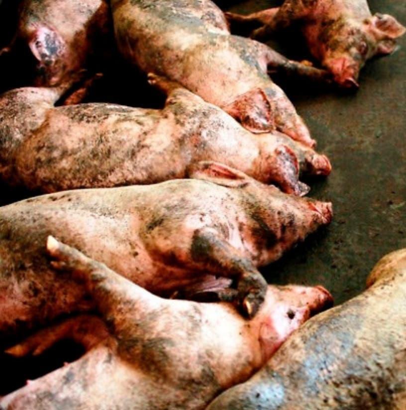 Gobierno ha sacrificado 3.4 MM kilos cerdos, valor RD$395.6 MM