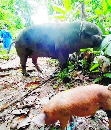 Gobierno pagará cerdos sean sacrificados por peste
