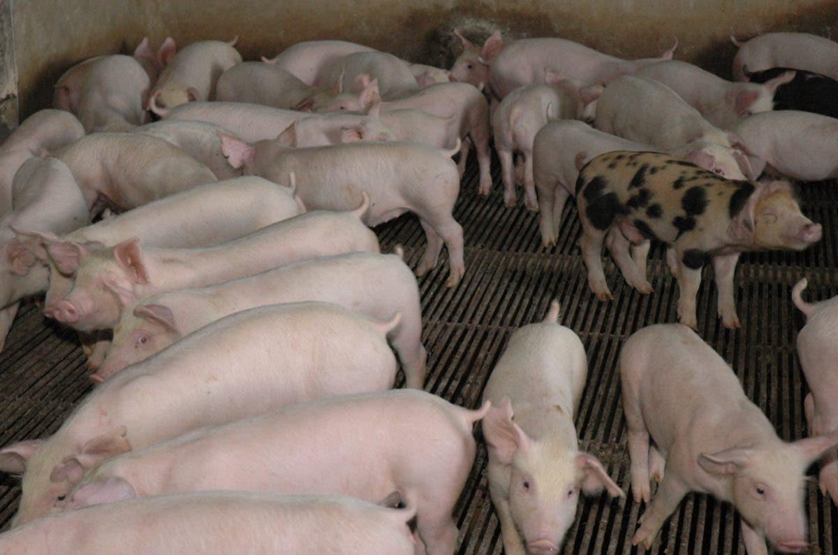El país tiene una población de cerdos de 754,508 unidades