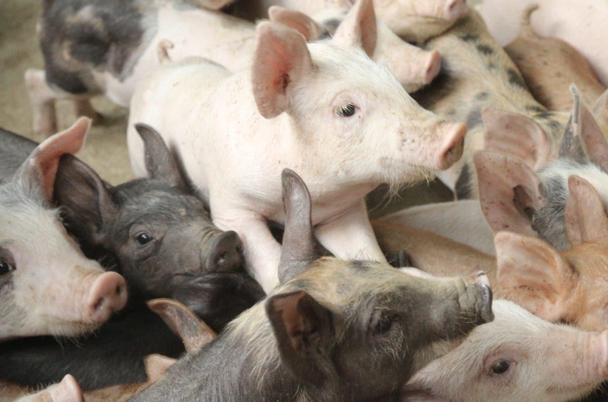 Resumen informativo HOY | Porcicultores  críen otros animales, PLD intentó comprar Refidomsa, Pfizer es Comirnaty