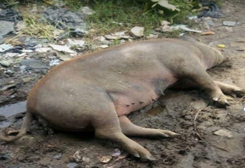 Amas de Casa de San Cristóbal piden acudir al municipio ante detección muertes de cerdos