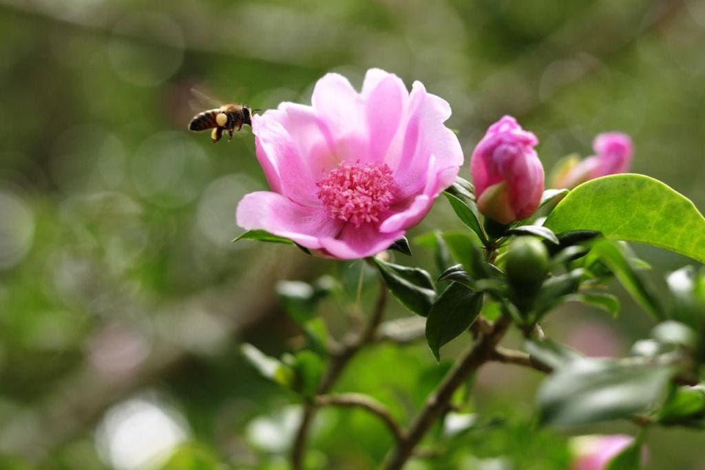Fondo MARENA y Medio Ambiente lanzan proyecto para conservar y expandir la Rosa de Bayahíbe, flor nacional