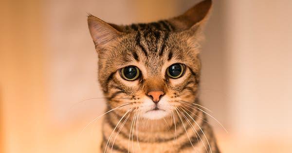 ¿Cómo obtienen los gatos sus rayas?