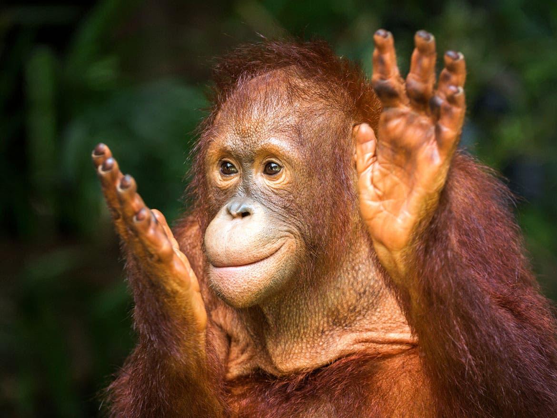 Día Mundial del Orangután: Lo que debes saber sobre estos animales
