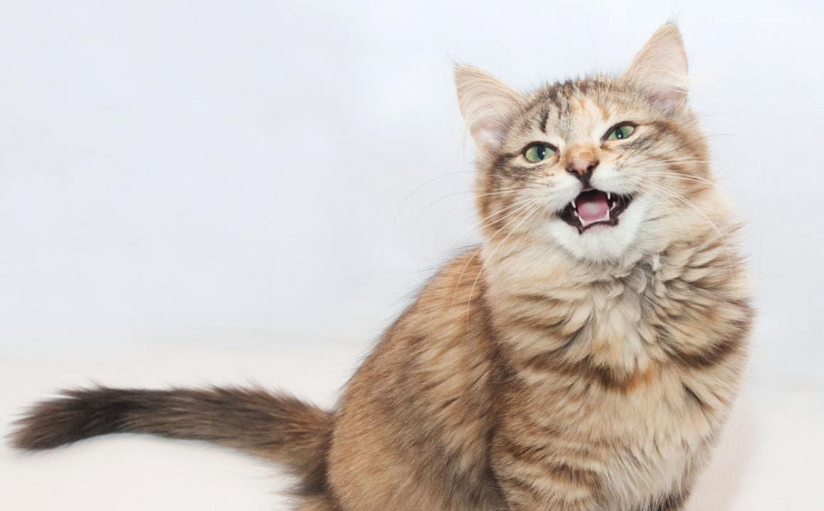 Viral: Un gato maúlla pidiendo ayuda para su dueña de 83 años