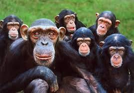 Los simios también se saludan y se despiden en sus interacciones
