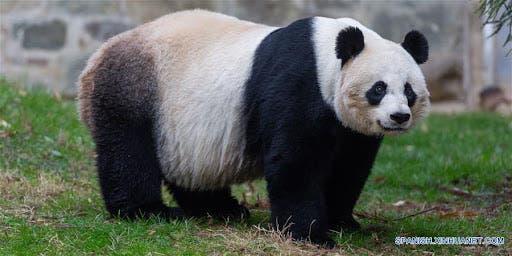 Nacen dos crías de panda gigante en Francia