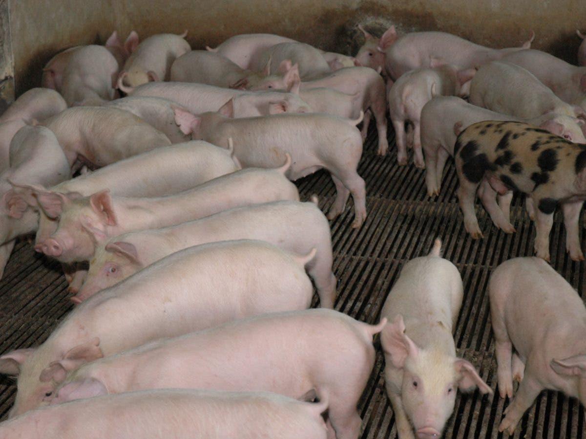 Sugiere gobierno prohíba importar cerdo y derivados
