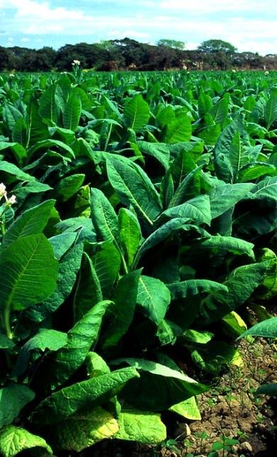 Mercado; Buscan exportar tabaco a China