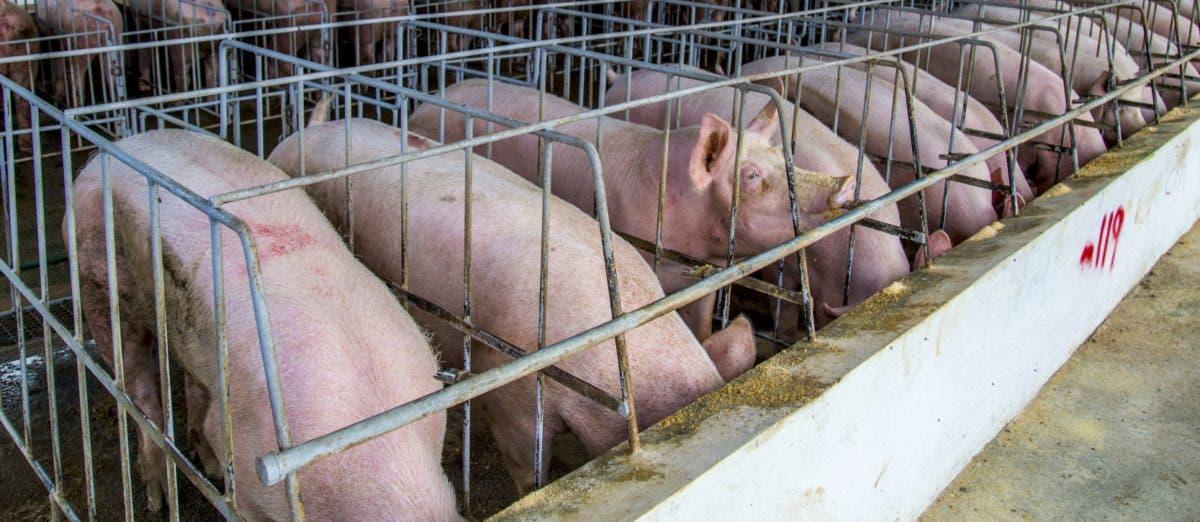 JAD recomienda no eliminación total de cerdos sino infectados