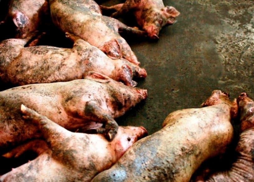 EU prohíbe carne cerdo proveniente de P.Rico