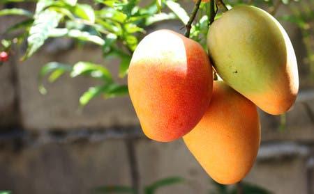 Te decimos 10 beneficios de comer un mango diario