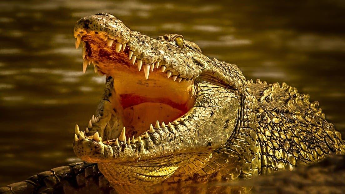 Capturan a caimán con restos humanos en su estómago
