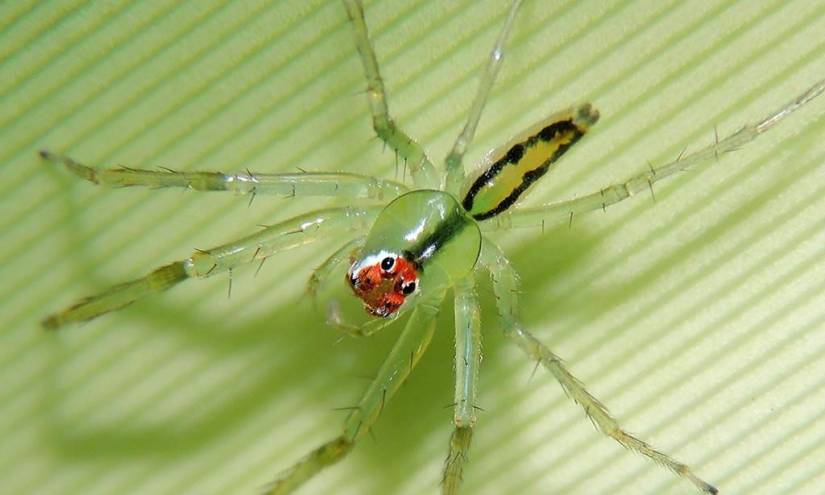 Investigadores descubren una nueva especie de araña cazadora en Ecuador