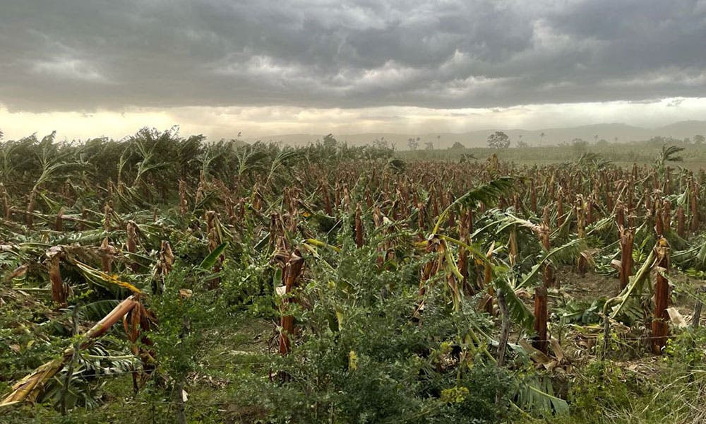 En Noroeste; Agricultura evalúa daños platanales y guineales