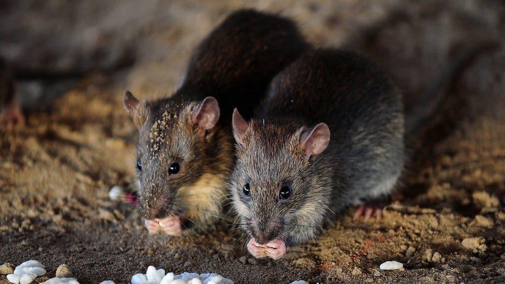 Por qué las ratas fueron la causa de que los gatos pasaran a ser animales de compañía