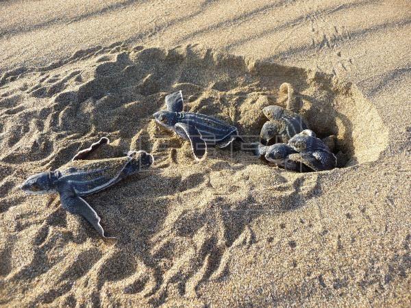 Concluye con éxito temporada de tortugas marinas en el país