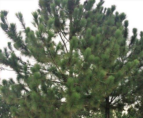 Agricultor muere aplastado por árbol de pino que cortaba en Dajabón