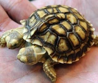 La tortuga que nació con dos cabezas cumple dos semanas de vida